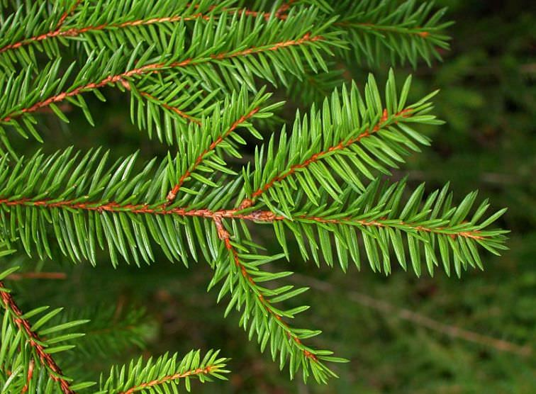 Spruce (Picea spp)